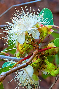A colony of Green tree ants (Genus Oecophylla) gathering the nectar of a blossoming Proteaceae shrub, Cape York Peninsula, Queensland, Australia. September.  -  Steven David Miller