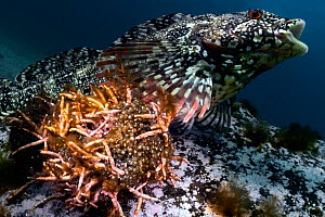 Spotty-bellied greenling (Hexagrammos agrammus) male, protecting several clutches of eggs resulting from spawning with multiple females. During the autumn/ winter breeding season, males keeps watch ov...  -  Tony Wu