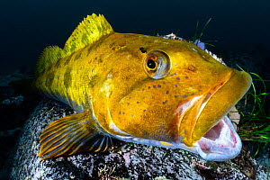 Fat greenling (Hexagrammos otakii) opening his mouth. This male has been guarding clutches of eggs. Hokkaido, Japan.  -  Tony Wu