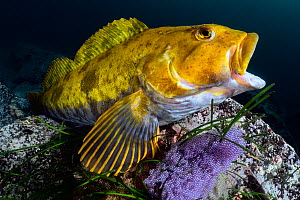 Fat greenling (Hexagrammos otakii) opening his mouth. This male has been guarding clutches of eggs, the purple mass near his pectoral fin. Hokkaido, Japan.  -  Tony Wu
