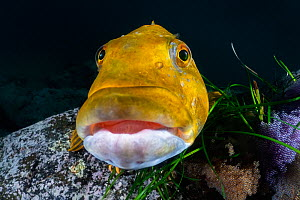 Fat greenling (Hexagrammos otakii) male, watching over several clutches of developing eggs. Hokkaido, Japan.  -  Tony Wu