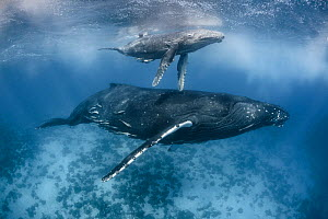 Humpback whale calf (Megaptera novaeangliae) attacked and injured when it was very young. From this angle, the half-torn pectoral fin on the calf's right side is visible. The most severe injuries were...  -  Tony Wu