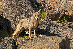Coyote (Canis latrans). Yellowstone National Park, Wyoming, USA.  -  George Sanker