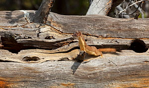Long-tailed weasel (Mustela frenata) hunting in fallen tree trunk Yellowstone National Park, Wyoming, USA  -  George Sanker