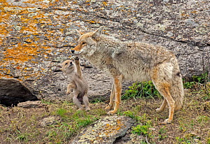 Coyote (Canis latrans) with playful  newborn pup. Yellowstone National Park, Wyoming, USA.  -  George Sanker
