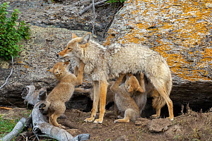 Coyote (Canis latrans) female with newborn pups. Yellowstone National Park, Wyoming, USA.  -  George Sanker