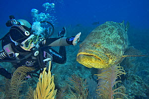 A friendly Atlantic goliath grouper or Giant seabass (Epinephelus itajara) with a scuba diver reaching out to touch it, The Gardens of the Queen, Cuba, Caribbean Sea. Model released.  -  Pascal Kobeh