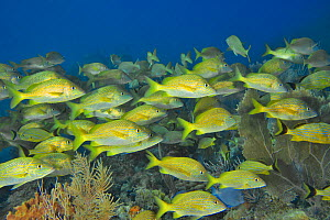 A school of Common grunts (Haemulon plumierii) with a few Bluestriped grunts (Haemulon sciurus) and a Blue tang surgeonfish (Acanthurus coeruleus) on the reef with particularly common seafans or gorgo...  -  Pascal Kobeh
