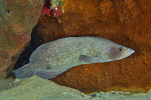 Greater or Three-spined soapfish (Rypticus saponaceus) at night, The Gardens of the Queen, Cuba, Caribbean Sea.  -  Pascal Kobeh