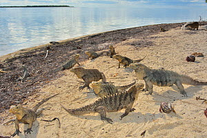 Cuban rock iguanas (Cyclura nubila) and Caribbean hermit crabs (Coenobita clypeatus) on the beach with a Desmarest's hutia (Capromys pilorides), a species of rodent, in the background, Gardens of...  -  Pascal Kobeh