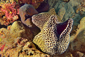 Two Honeycomb morays (Gymnothorax favagineus) and a Giant moray (Gymnothorax javanicus) emerging from their shared burrow, Indian Ocean, Maldives.  -  Pascal Kobeh