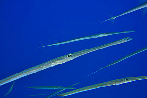 A school of Bluespotted cornetfish (Fistularia commersonii), Red Sea, Egypt.  -  Pascal Kobeh