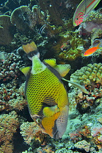 Giant triggerfish (Balistoides viridescens) building its nest among the corals in the reef with several other fish species nearby, Red Sea, Egypt.  -  Pascal Kobeh