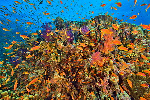 A coral reef with soft corals (Dendronephthya sp. and Scleronephthya sp.), hard corals (Acropora sp. and Porites sp.), fire corals (Millepora tenella) and Jewel fairy basslets (Pseudanthias squamipinn...  -  Pascal Kobeh