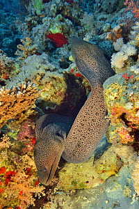 Two Giant moray eels (Gymnothorax javanicus) emerging from their burrow, Red Sea, Egypt.  -  Pascal Kobeh
