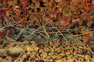 Painted spiny lobsters (Panulirus versicolor) in a crack in the reef, Indian Ocean, Maldives.  -  Pascal Kobeh