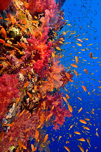 A coral reef drop off with soft corals (Dendronephthya sp.) and Jewel fairy basslets (Pseudanthias squamipinnis), Red Sea, Egypt.  -  Pascal Kobeh