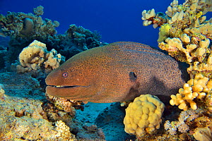 Giant moray (Gymnothorax javanicus) emerging from its burrow, Red Sea, Egypt.  -  Pascal Kobeh
