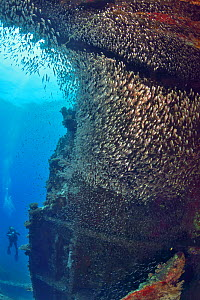 A school of Red Sea dwarf sweepers (Parapriacanthus ransonneti) in the Giannis D wreck with a diver in the background, Red Sea, Egypt.  -  Pascal Kobeh