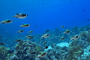 A group of Masked pufferfish (Arothron diadematus) gathering during the mating season, Red Sea, Egypt. July.  -  Pascal Kobeh