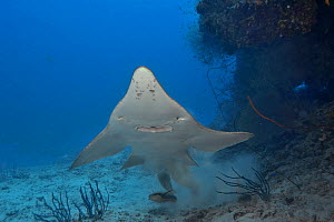 Giant guitarfish / Whitespotted wedgefish (Rhynchobatus djiddensis) swimming up from resting on the sea floor, Indian Ocean, Maldives.  -  Pascal Kobeh