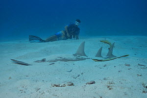 Diver watching a Giant guitarfish / Whitespotted wedgefish (Rhynchobatus djiddensis) partially buried in the sand with two remoras (Echeneis naucrates), Indian Ocean, Maldives. Model released.  -  Pascal Kobeh