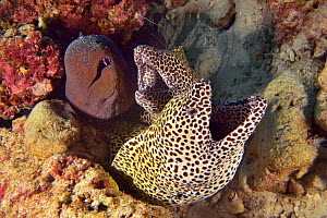 Two Honeycomb morays (Gymnothorax favagineus) and a Giant moray (Gymnothorax javanicus) emerging from their burrow, Indian Ocean, Maldives.  -  Pascal Kobeh