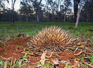 Short-beaked echidna (Tachyglossus aculeatus acanthion) digging itself into the ground as means of self-defence, Dryandra Forest, Western Australia.  -  Jiri Lochman