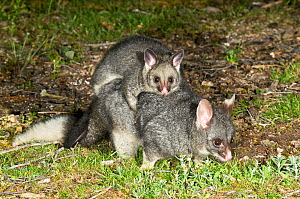 Common brushtail possum (Trichosurus vulpecula hypoleucos) female carrying out-off-pouch young, Waychinicup National Park, Western Australia.  -  Jiri Lochman