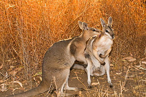 Bridled nailtail wallaby (Onychogalea fraenata) a peaceful encounter between two males leading to mutual grooming rather than fight typical among other macropods, Idalia National Park, Queensland, Aus...  -  Jiri Lochman