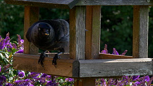 House sparrow (Passer domesticus) feeding on corn on bird table, Jackdaw arrives and scares them off, Somerset, UK, June.  -  Michael W. Richards