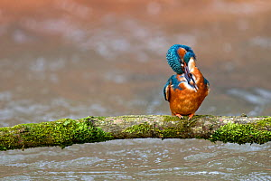 Kingfisher (Alcedo Atthis) adult preening, perched on branch over river, Lorraine, France, April  -  Michel Poinsignon