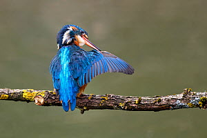 Common Kingfisher (Alcedo atthis) adult preening, wing, perched on branch over river, Lorraine, France, March.  -  Michel Poinsignon