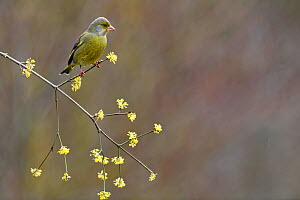 Greenfinch (Carduelis Chloris) perched on branch in winter, Lorraine, France, March  -  Michel Poinsignon