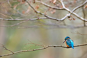 Kingfisher (Alcedo atthis) female perched on branch over river, checking for fish, Lorraine, France, March  -  Michel Poinsignon