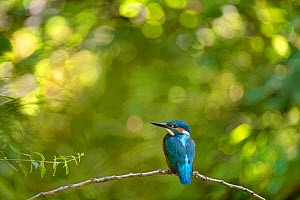 Kingfisher (Alcedo atthis) male perched on branch, Lorraine, France, July  -  Michel Poinsignon
