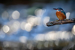 Kingfisher (Alcedo atthis) female perched on branch with bokeh and flare affect on river in the background, Lorraine, France, April  -  Michel Poinsignon
