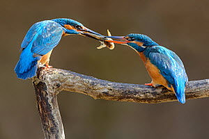 Kingfisher (Alcedo atthis) male passing fish to female, courtship behaviour, Lorraine, France, March  -  Michel Poinsignon