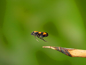 Red and black froghopper (Cercopis vulnerata) jumping, Sussex, England, UK, June.  -  Stephen  Dalton