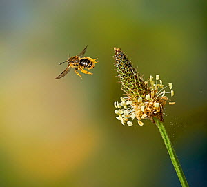 Solitary bee (Andrena sp) flying to Plantain flower, Sussex, England, UK. June.  -  Stephen  Dalton
