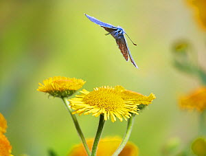 Common blue butterfly (Polyommatus icarus) in flightSussex, England, UK, July.  -  Stephen  Dalton