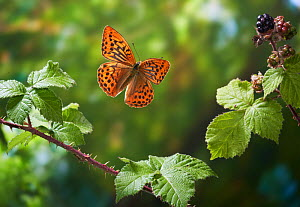 Silver washed fritillary (Argynnis paphia) in flight after take off, Sussex, England, UK. July.  -  Stephen  Dalton
