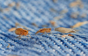 Froghopper (Cercophid) and grass seeds caught on jeans after stroll through long dry grass. They are difficult to tell apart when not magnified. England, UK.  -  Stephen  Dalton