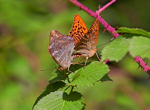 Silver washed fritillaries (Argynnis paphia) mating, Loder Valley reserve, Sussex, England, UK. July.  -  Stephen  Dalton