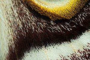 Southern Atlas moth (Epiphora bauhiniae) close up wing detail, Gambia, Africa. Controlled conditions.  -  Robert  Thompson