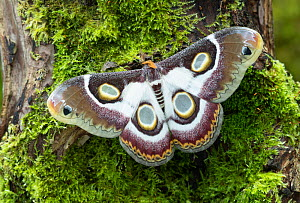 Southern Atlas moth (Epiphora bauhiniae) showing eyespots Gambia, Africa. Controlled conditions.  -  Robert  Thompson