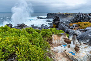 Blue-footed booby (Sula nebouxii) pair with chicks, blowhole in background, Punta Suarez, Espanola Island, Galapagos Islands.  -  Tui De Roy