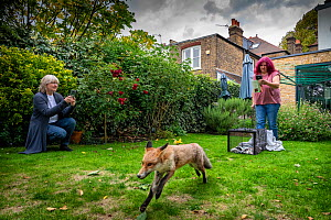 Taz Kenward of the Fox Project returns a wild rehabilitated Red fox (Vulpes vulpes) to the housing community where it was originally captured in London.  London, England, United Kingdom. 2018  -  Karine Aigner