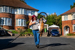 Taz Kenward of the Fox Project rescues Red fox (Vulpes vulpes) from a housing complex in London.  The fox will be rehabilitated if possible, and re-released where it was captured.  London, England, Un...  -  Karine Aigner