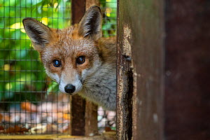 Rescued Red fox (Vulpes vulpes) in the care of The Fox Project,  is in temporary foster care until it is fit enough to be returned to the wild.  London, England, UK. October.  -  Karine Aigner